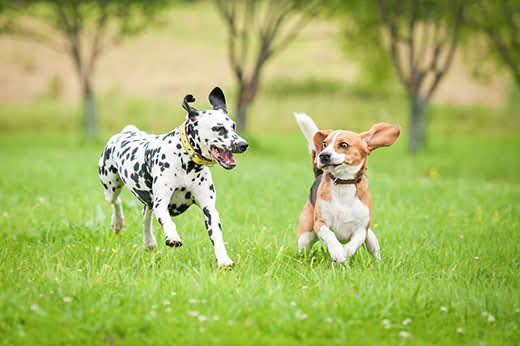 Dalmatian dog playing with beagle