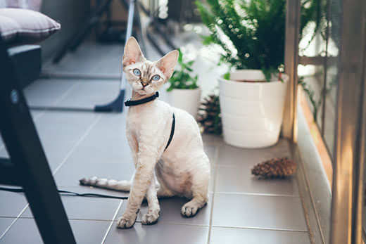Devon Rex cat is walking on a leash. Kitten is walking outdoor. Adventure at is enjoying being in fresh air. The pleasure of fresh air and sunshine. Safety Tips. Train your cat walking