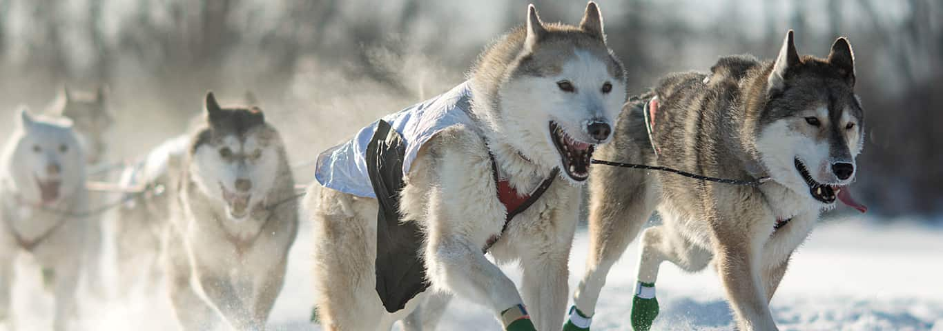 What Makes A Great Sled Dog Hill S Pet