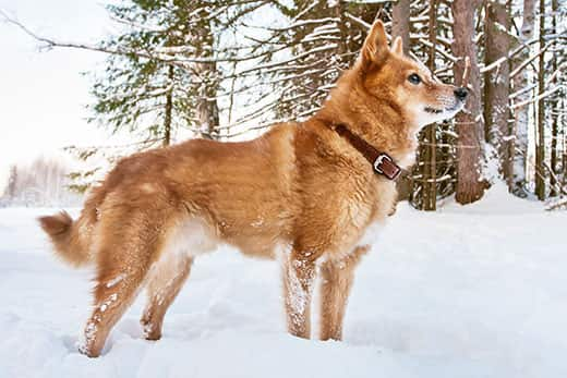 The Finnish Spitz Dog Breed