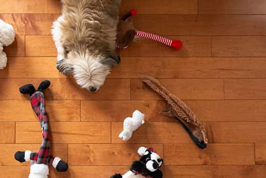 Birds eye view of small fluffy dog laying on oak hardwood floor with toys scattered around them.