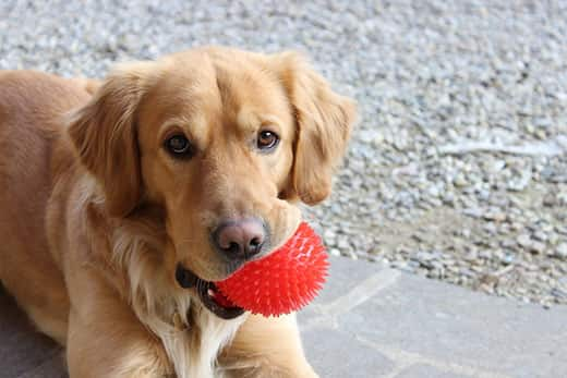 Golden retriever holding a red ball in its mouth
