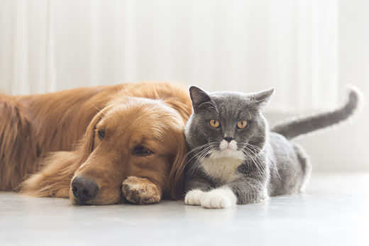 Gray cat snuggles up next to golden retriever.