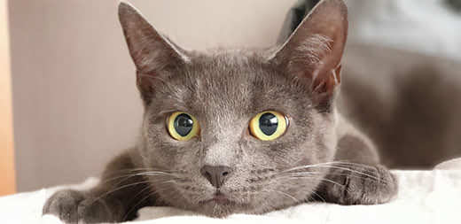 Gray cat with dilated pupils