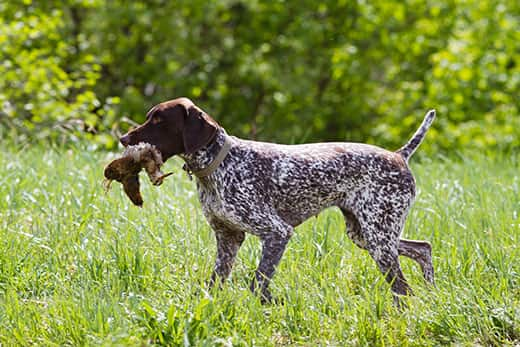 Brown and white hunting dog carrying a dead water fowl across a field.