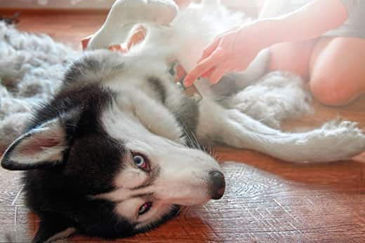 Siberian husky lying on their side gets belly brushed by human.