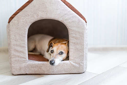 Jack Russell terrier looking sad in an indoor dog house.