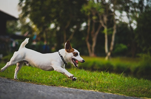 Jack Russell terrier in collar running down a paved path.