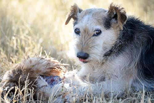 Mutt dog lying on ground in a field licking lips next to a dead bird.