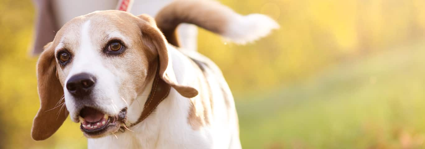 Old Dog Syndrome: Vestibular Disease in Dogs | Hill's Pet