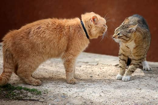 Orange cat intimidating a striped tabby cat.