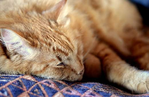 Orange tabby lying down on a blue patterned blanket.