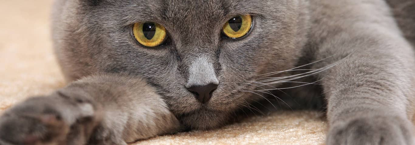 704cc698456 Find out why a cat scooting on carpet could be a sign of inflamed anal  glands and what you can do to help relieve your cat s agitation.