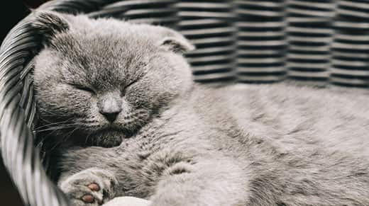 Gray Scottish Fold cat sleeping in a basket.