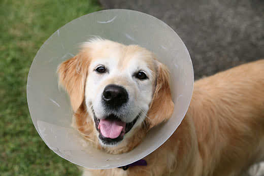 Senior looking golden retriever dog wearing an elizabethan collar plastic dog cone with a smile on their face.