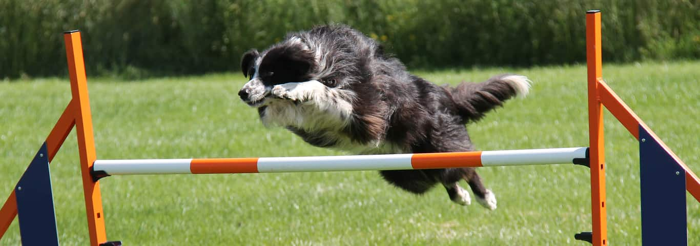 Learn what it takes to prepare your dog for athletic competitions from a  professional trainer's point of view. - How To Make A DIY Dog Obstacle Course At Home Hill's Pet