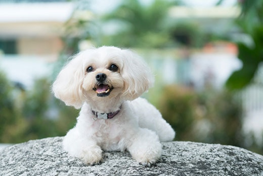 All white shih poo laying on rock.