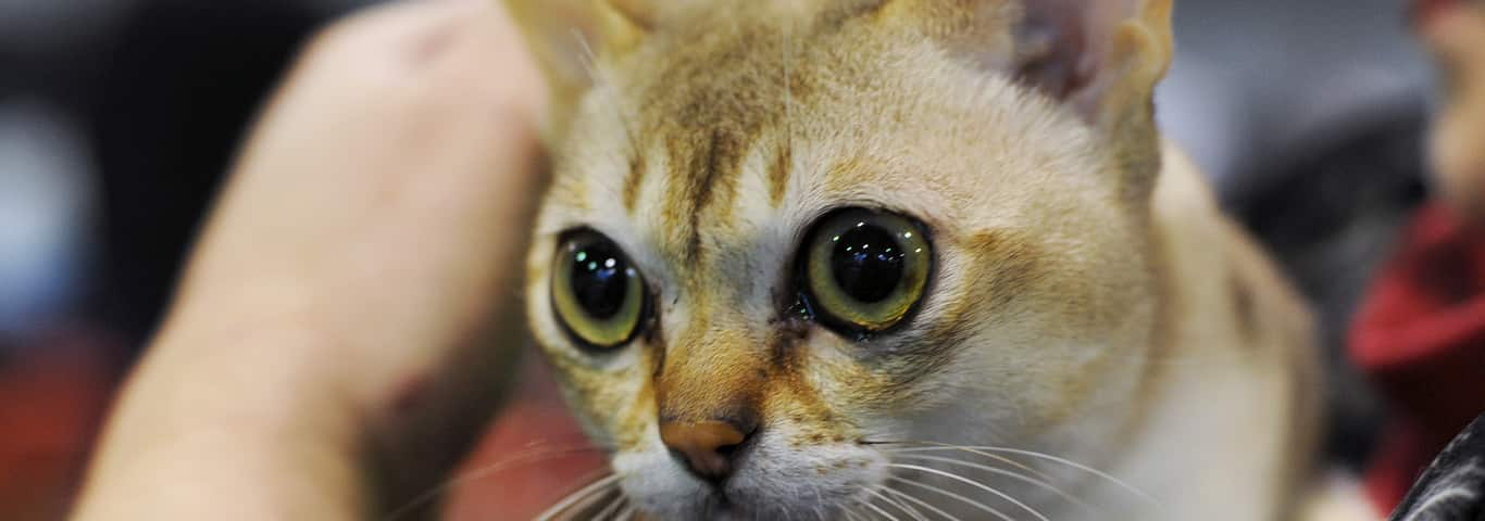 Abyssinian Cat For Sale Nyc Cat And Dog Lovers