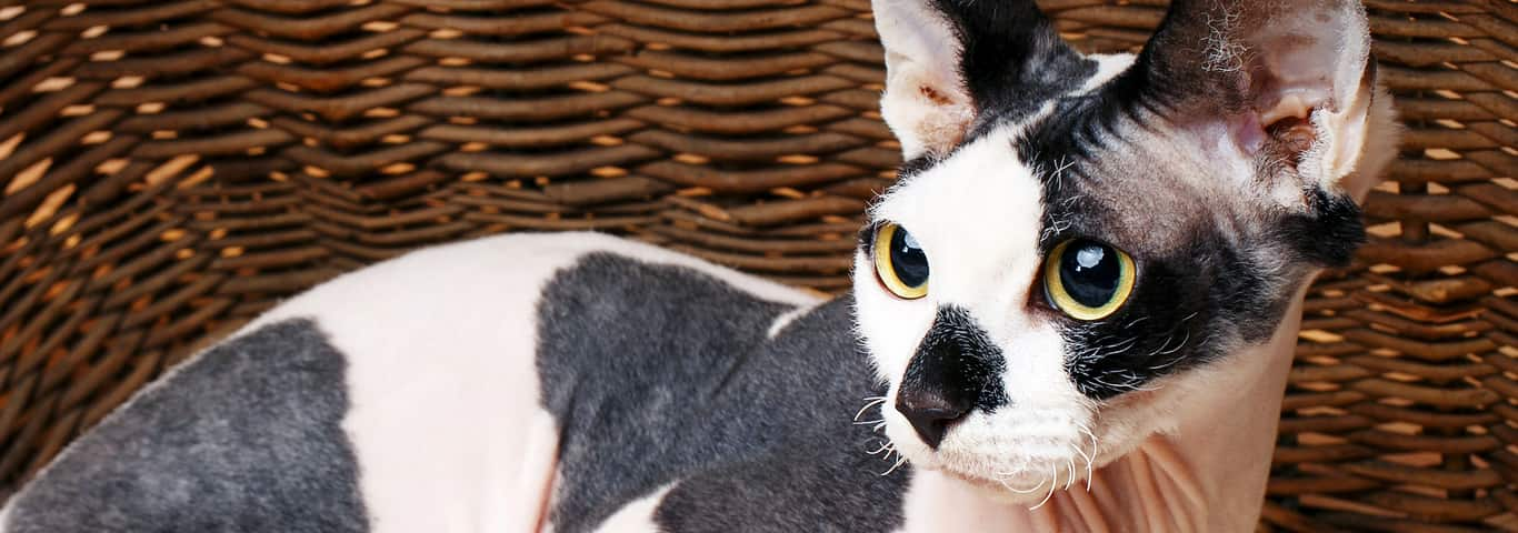 Should I Adopt a Cat? A Few Things to Consider   Hill's Pet