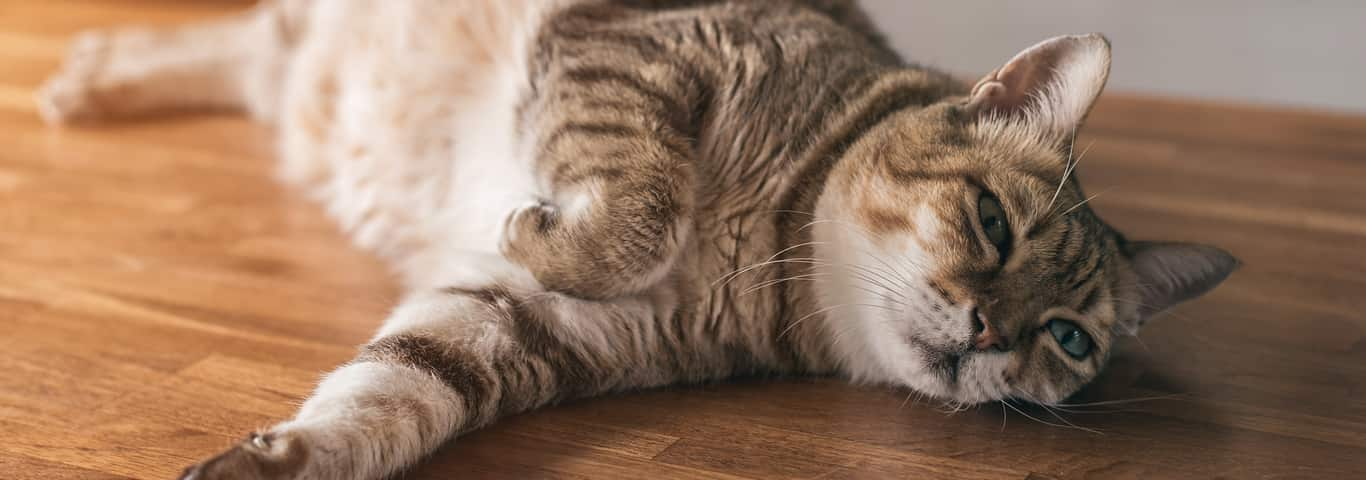 Common Problems with Aging Cats | Hill's Pet