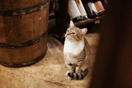 Striped cat sitting next to wine barrel, bottles of win blurred in background.