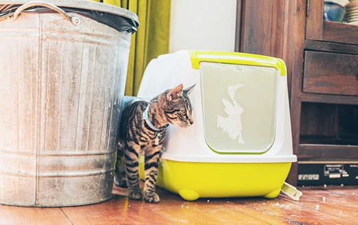 Striped grey tabby standing alongside a plastic covered litter box and garbage bin in a house.