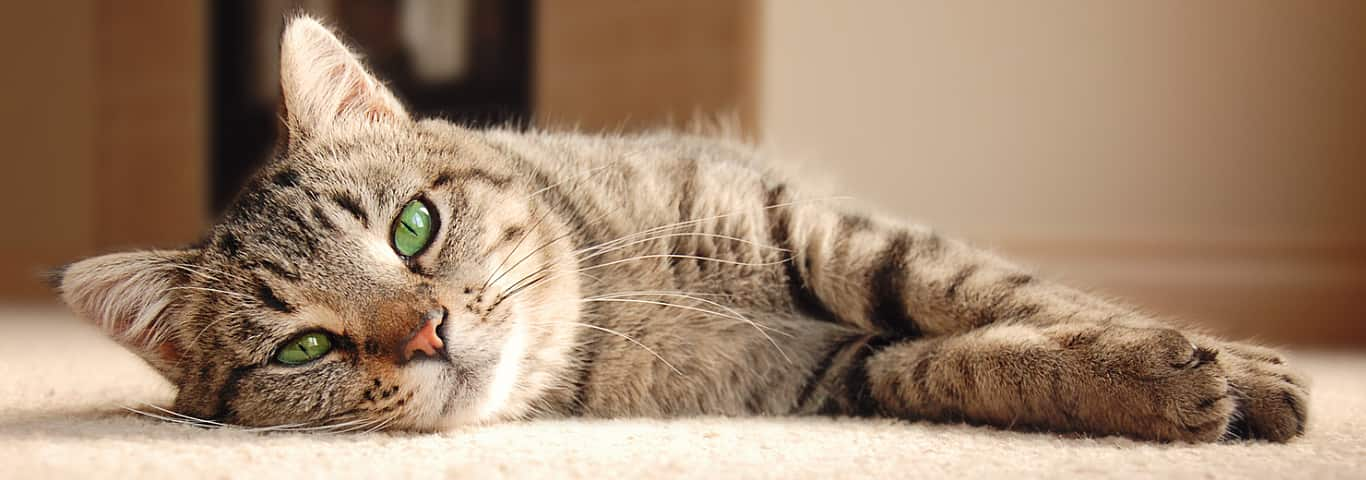 Pet care center how to get rid of cat odors for good hills pet ccuart Image collections