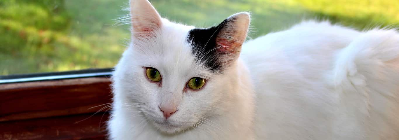 b1a9363f69 Turkish Van Cat Breed Information