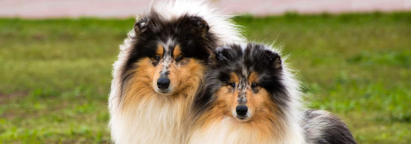 rough collie dog breed information hill s pet