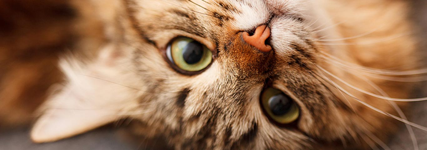 How Your Needy Cat Shows She Wants Attention Hill S Pet