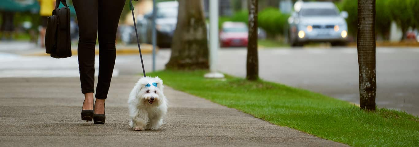 505beb8556322 How to Leash Train a Puppy | Hill's Pet