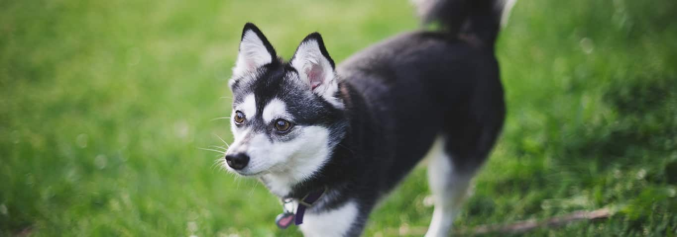Alaskan Klee Kai Dog Breed Facts And