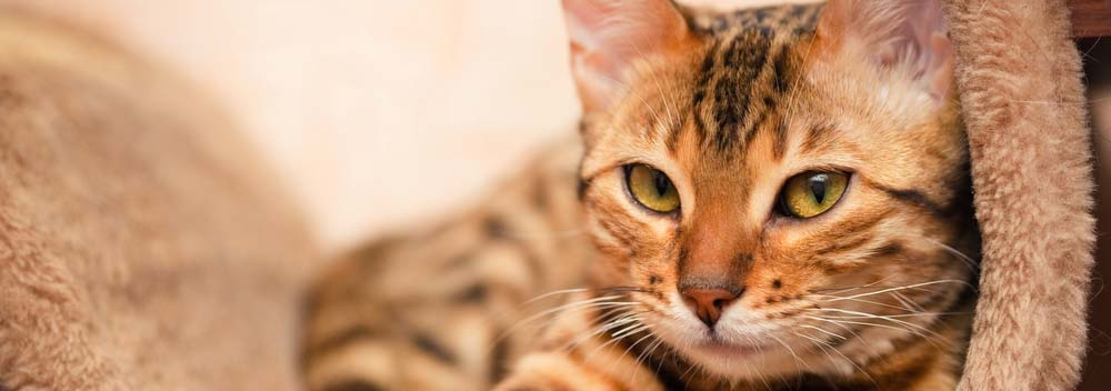 Bengal Housecat Breed Facts And Personality Traits Hill S Pet