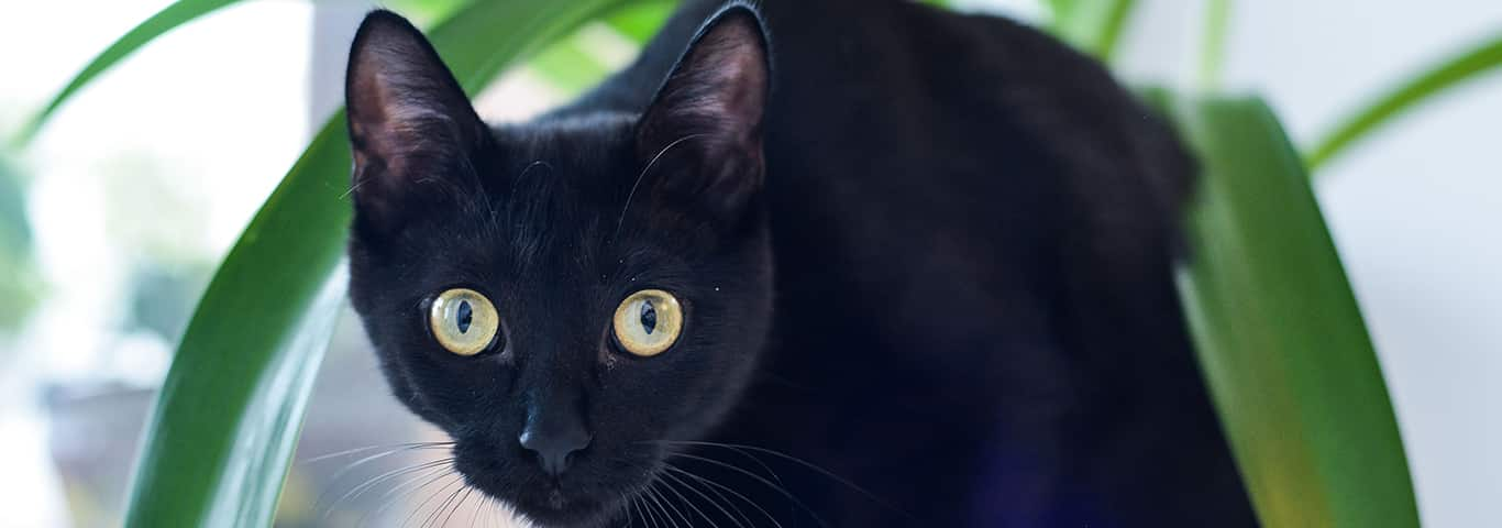 Bombay Cat Breed - Facts and Personality Traits | Hill's Pet