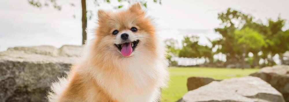 Pomeranian Dog Breed Facts And Personality Traits Hill S Pet
