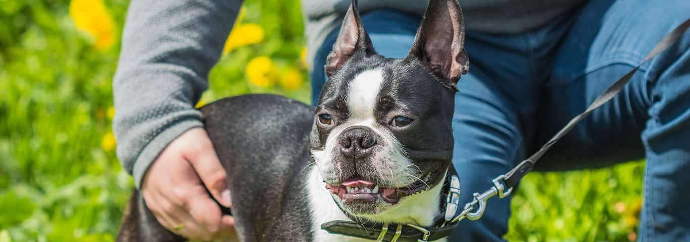 Boston Terrier Dog Breed - Facts and Traits | Hill's Pet
