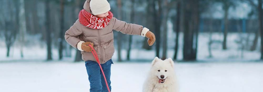 Samoyed Dog Breed - Facts and Personality Traits | Hill's Pet