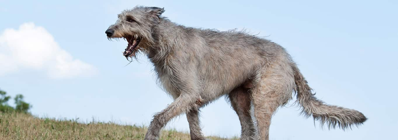 Irish Wolfhound Dog Breed - Facts and Personality Traits | Hill's Pet