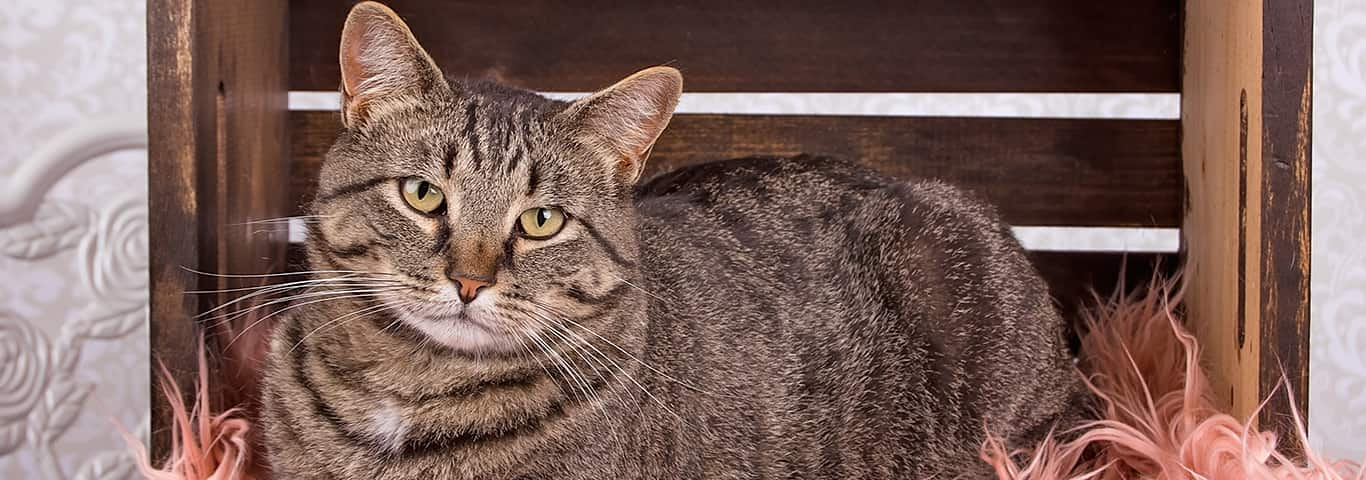 Prescription Dog Food >> Manx Cat Breed - Facts and Personality Traits | Hill's Pet