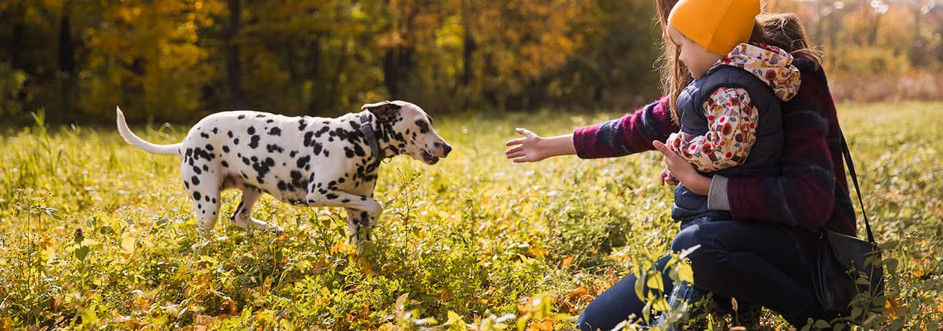 Dalmatian Dog Breed Facts And
