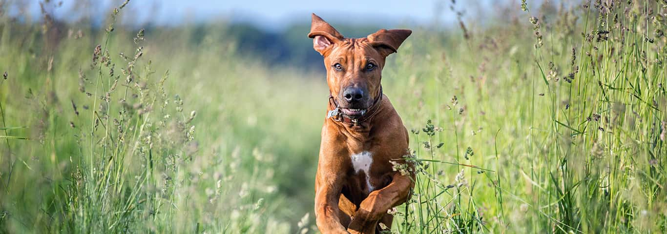Rhodesian Ridgeback Dog Breed - Facts and Traits   Hill's Pet