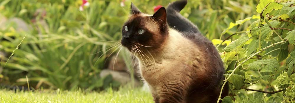 Siamese Cat Breed - Facts and Personality Traits | Hill's Pet