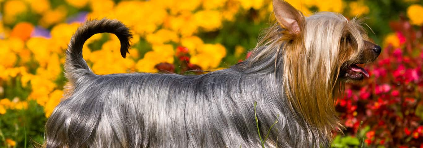 Silky Terrier Dog Breed - Facts and Personality Traits