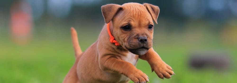 Staffordshire Bull Terrier Dog Breed - Facts and Traits