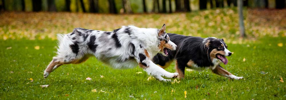 Australian Shepherd Dog Breed Facts and Traits | Hill's Pet
