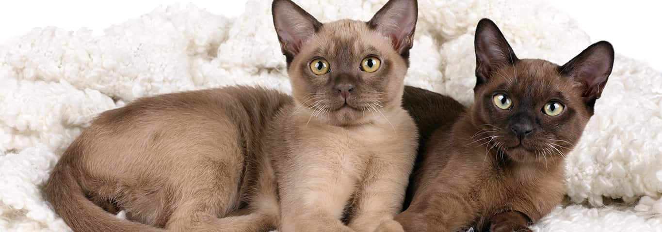 Burmese Cat Breed - Facts and Personality Traits | Hill's Pet