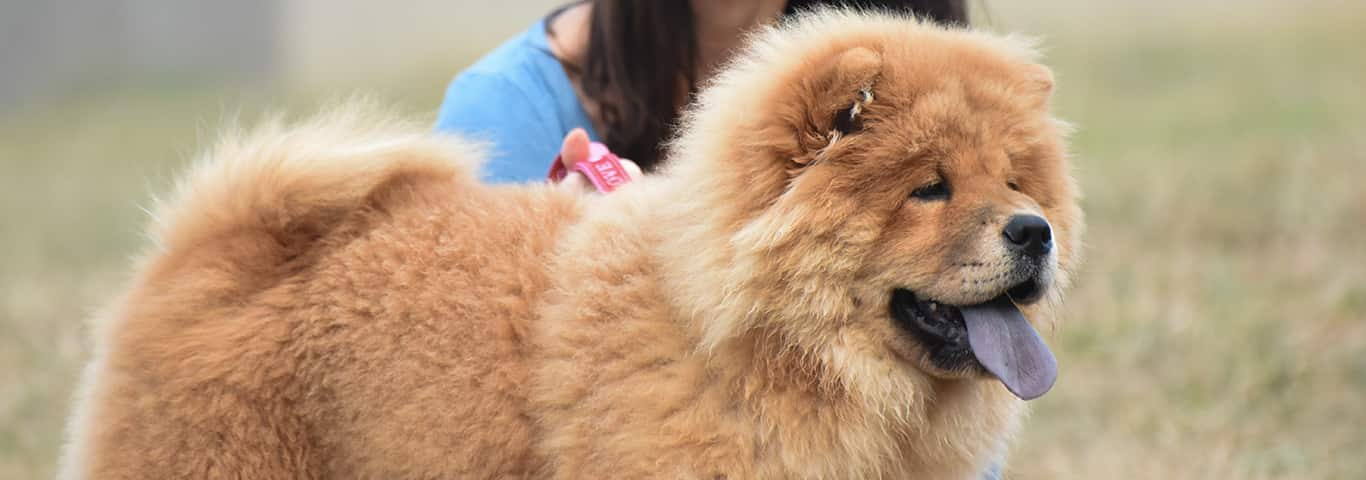 Chow Chow Dog Breed - Facts and
