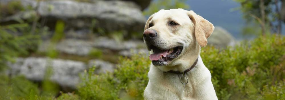 Labrador Retriever Dog Breed - Facts and Traits | Hill's Pet