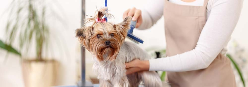 Yorkshire Terrier Dog Breed Facts And Traits Hill S Pet