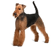 airedale terrier dog breed facts and personality traits hill s pet